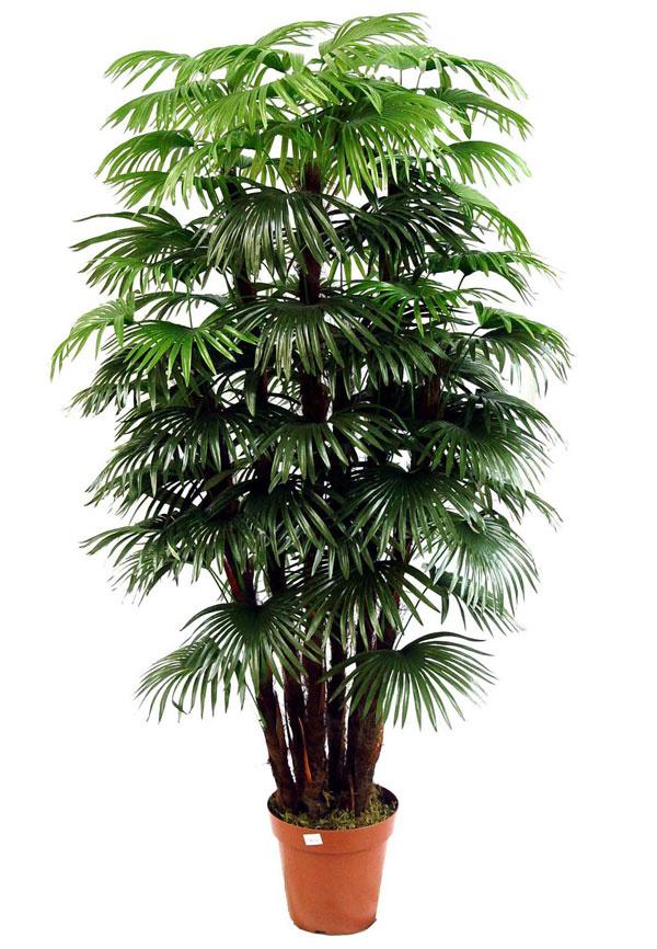 Комнатные пальмы разновидности картинки