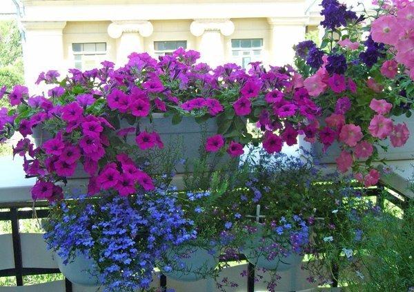 Ампельные цветы для балкона могут быть теневыносливые или св.