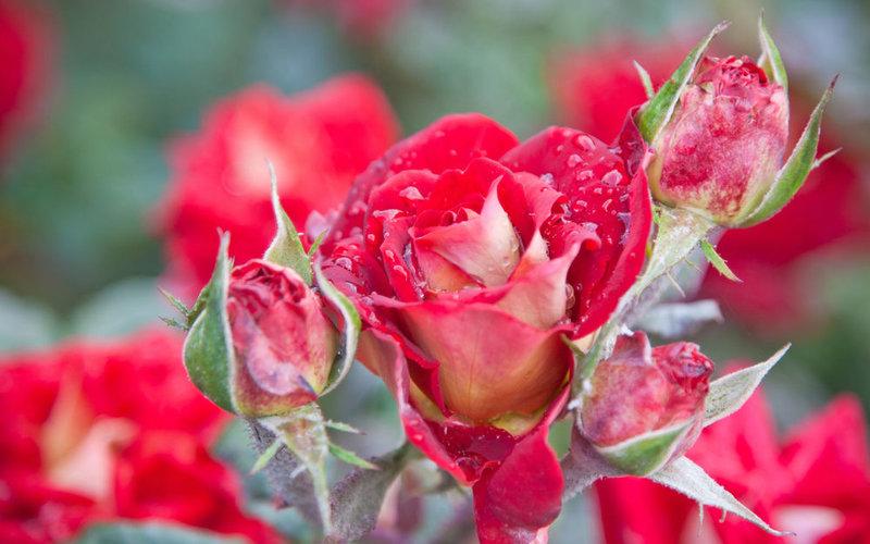 Какие розы лучше корнесобственные или привитые