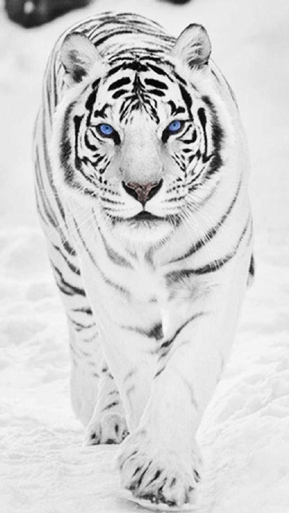 WHITE TIGER!! I