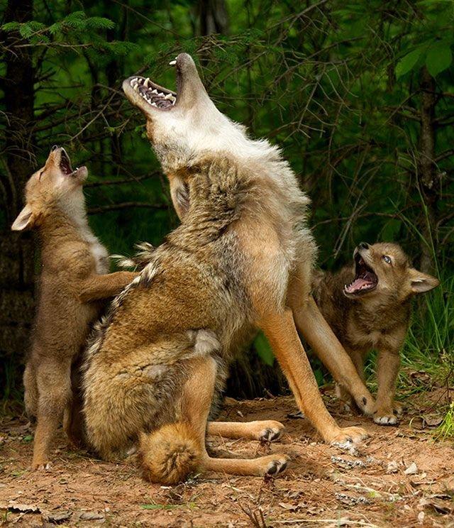 Волчата учатся громко выть.