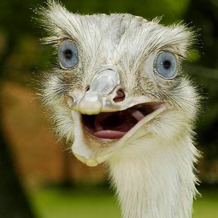 Картинка страус прикол