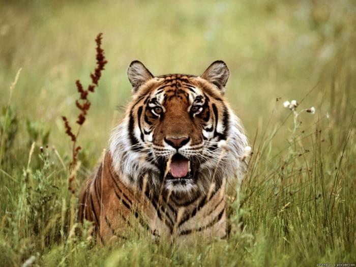 Картинки злой тигр