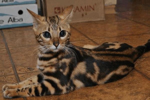 Бенгальская кошка виды окраса фото