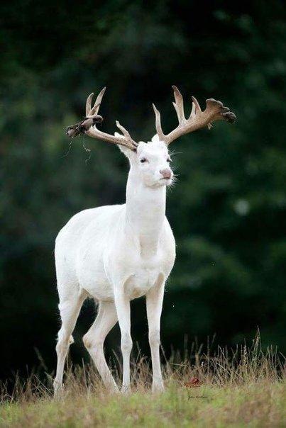 Альбинос  #Альбинос #олень #Альбиносы #deer #белый_олень #albino #reindeer #animal #white #love_animals