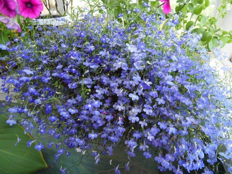 Лобелия - растение, которое несколько лет может цвести на од.