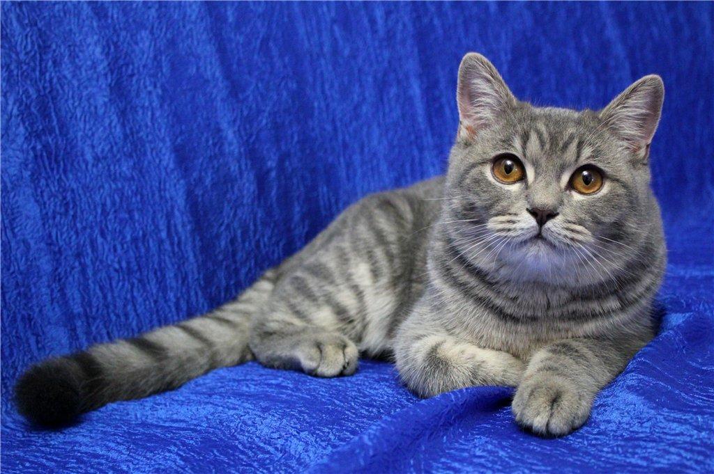 порода кошек шотландцы картинки каждой них существует