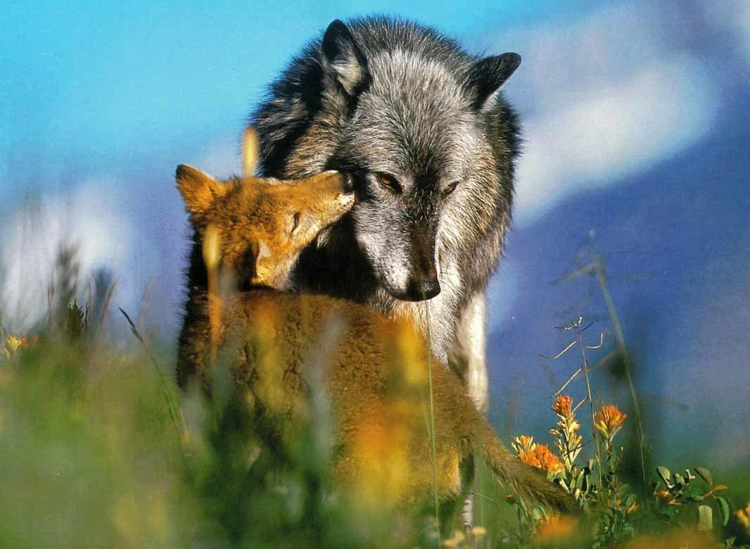 фотографии волка и лисы имя должно