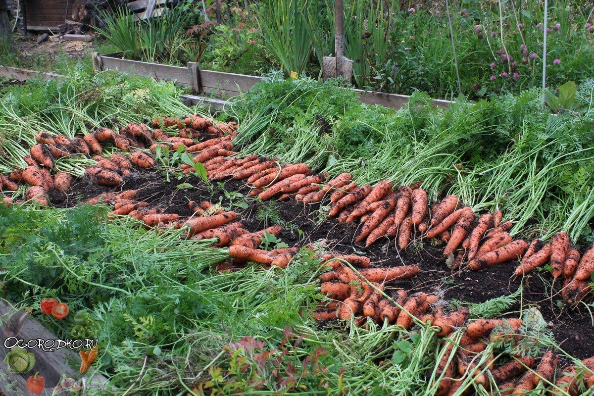 Просто нажмите на ссылку ниже: на доход влияет объем выращенной моркови, расходы на выращивание, закупочные цены, канал сбыта.