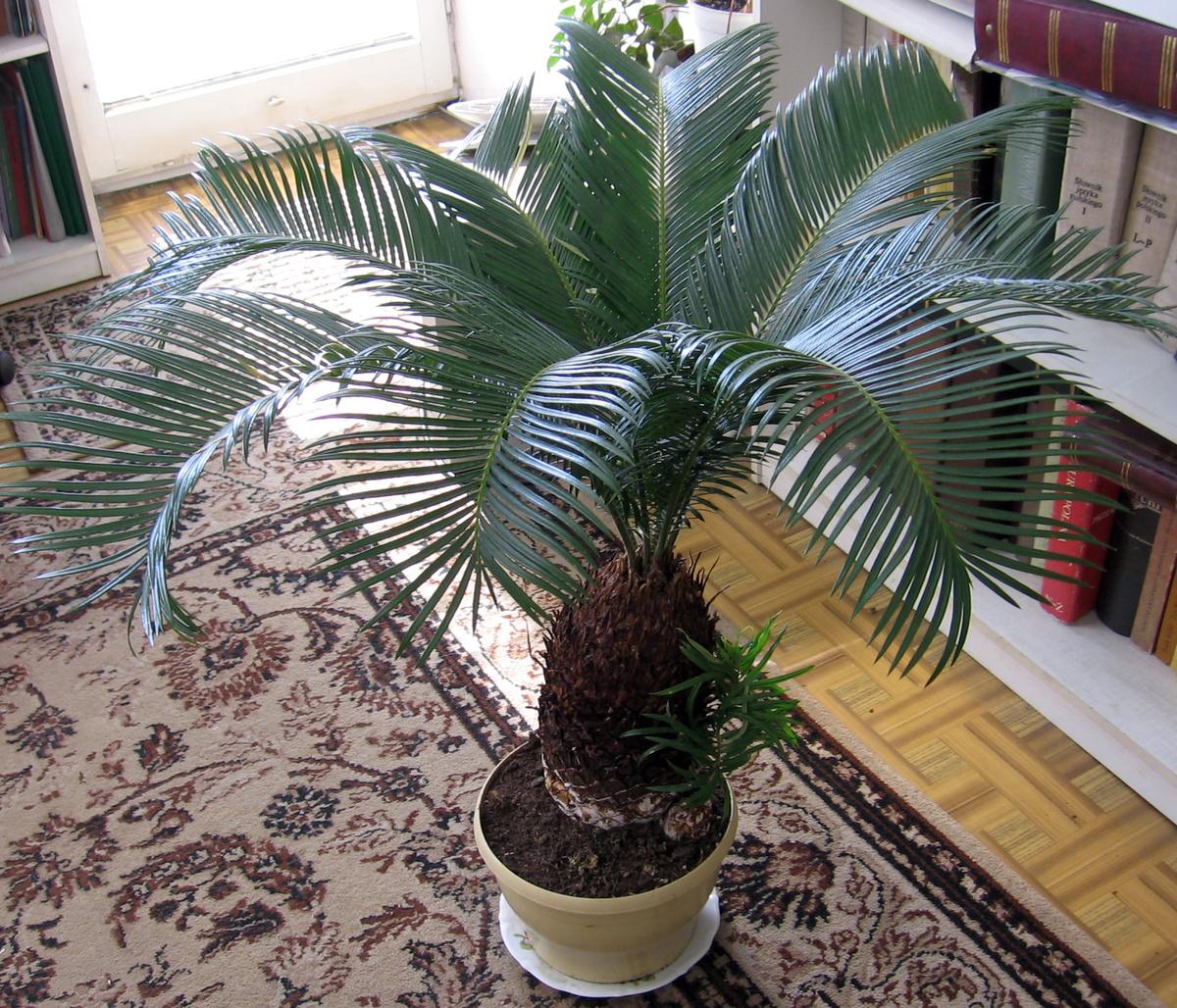 пальмы фото и названия комнатные рисовала эти