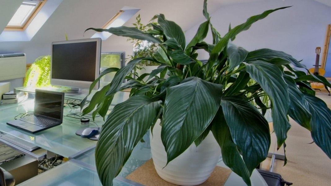 приложение цветочной комнатные растения которые любят тень фото заинтересовались