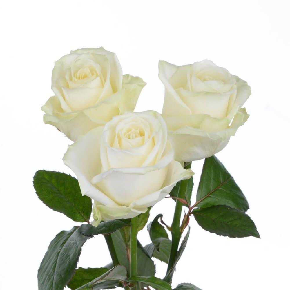 Аваланч сорт розы.