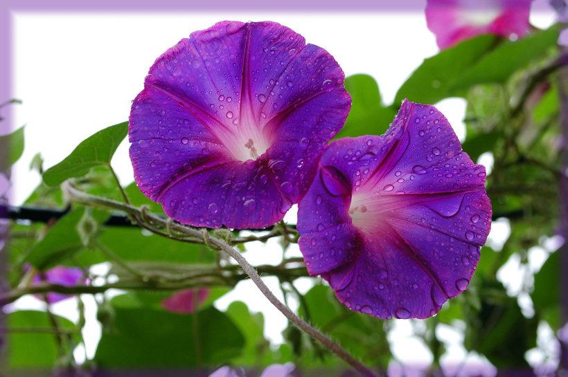 картинки цветка вьюн сложилась жизнь легендарного