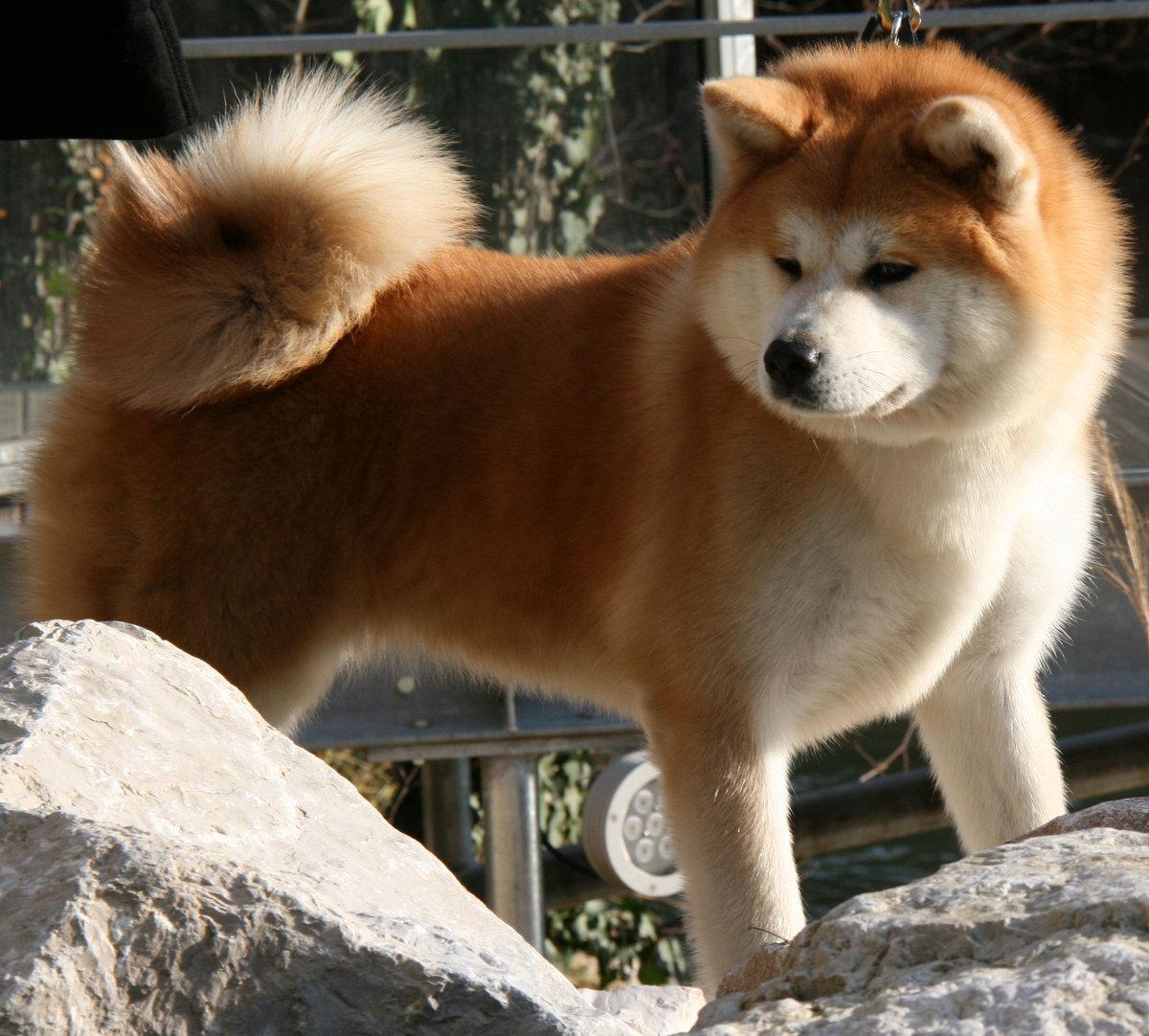 Картинки акиты собак
