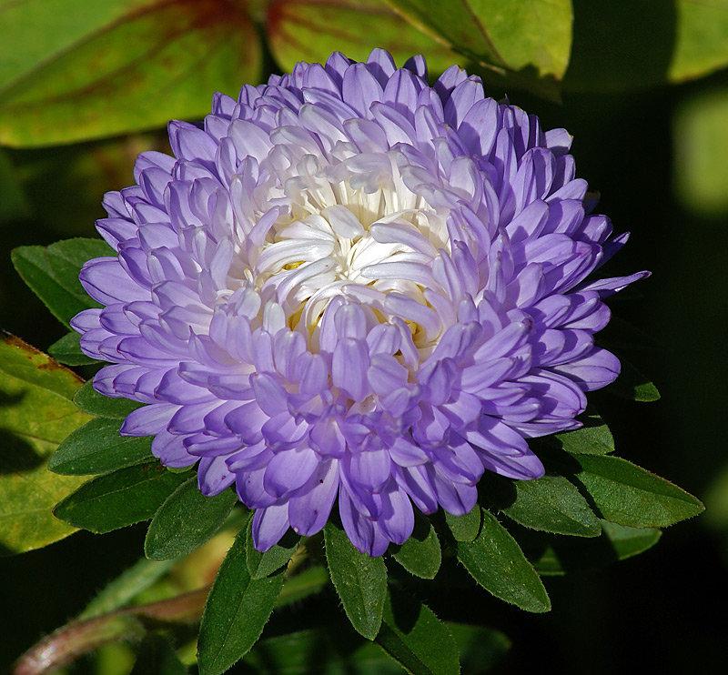 цветы найти фотографии астры