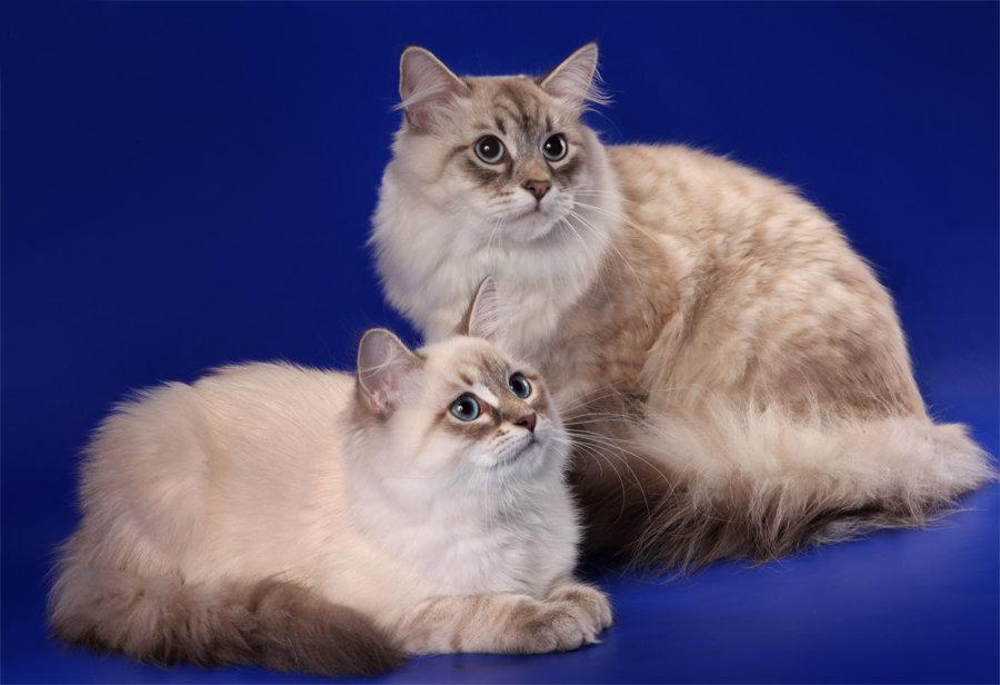 порода кошек сибирская маскарадная фото создает соблазн