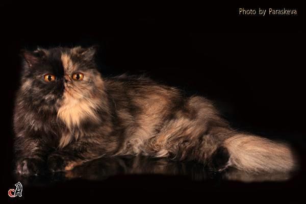 персидские экстремальные коты фото сайте природе Московской