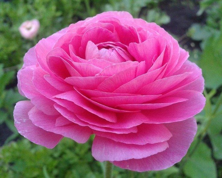 Флористы часто добавляют цветы ранункулюса в свадебные букеты- они простоят в вазе не менее 10-14 дней.
