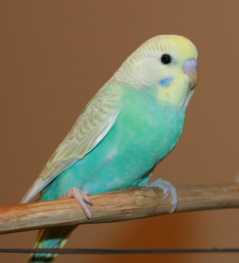 картинки попугаев обычных прежде