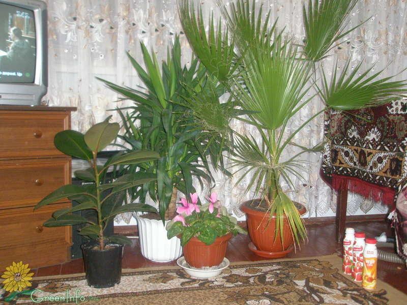 Пальма вашингтония фото