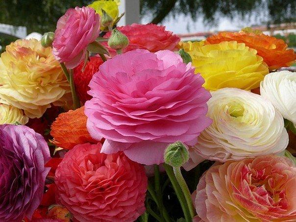 В марте – начале апреля можно приступить к посадке. В этот период посадку лютика садового производят на рассаду