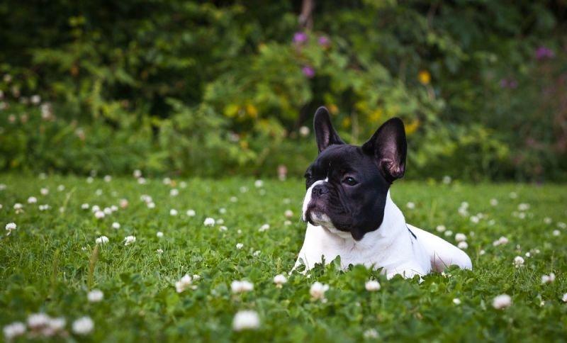 Фотографии французских бульдогов | Собака и Кошка - все о домашних животных