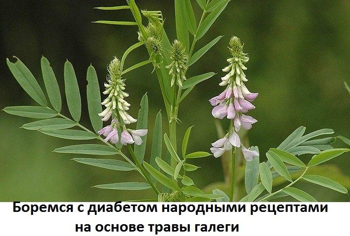 Довольно часто применяется в народной медицине трава галега при ...