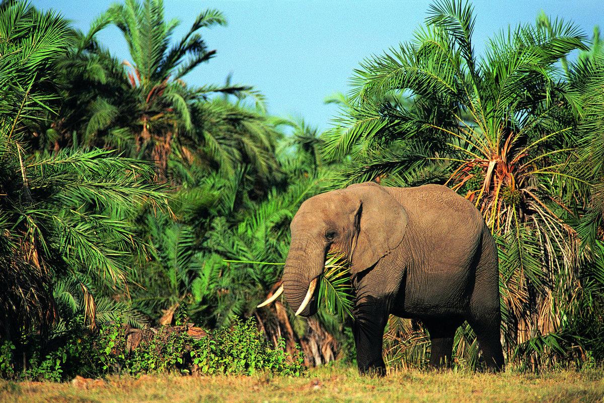 Слон за обедом