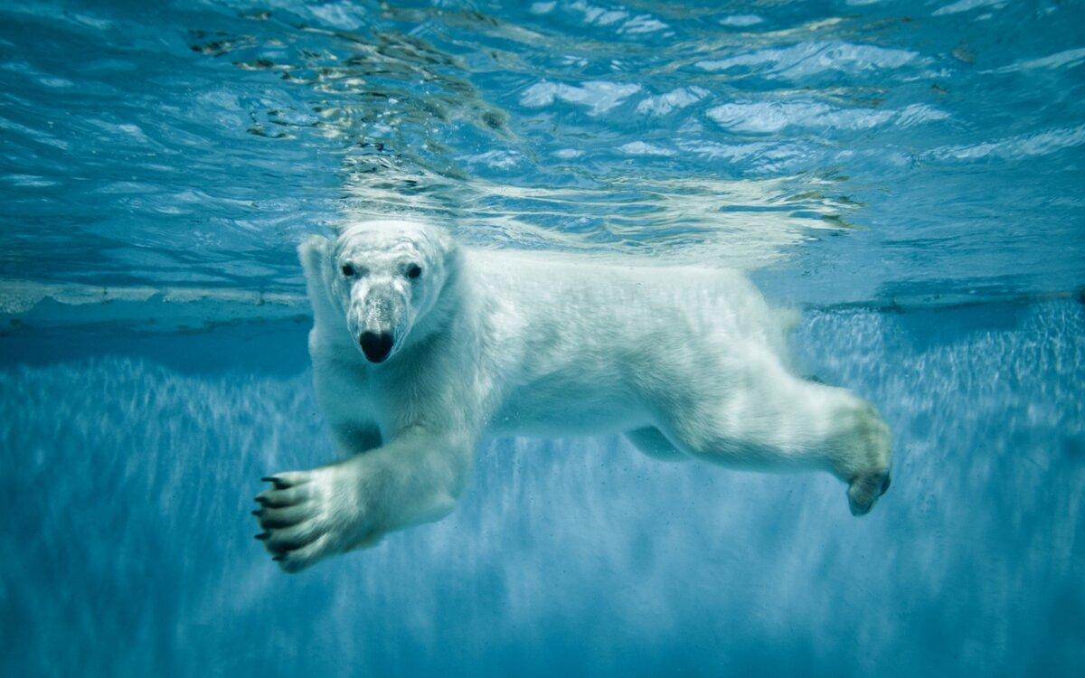 Медведь, вода, белый, животные.