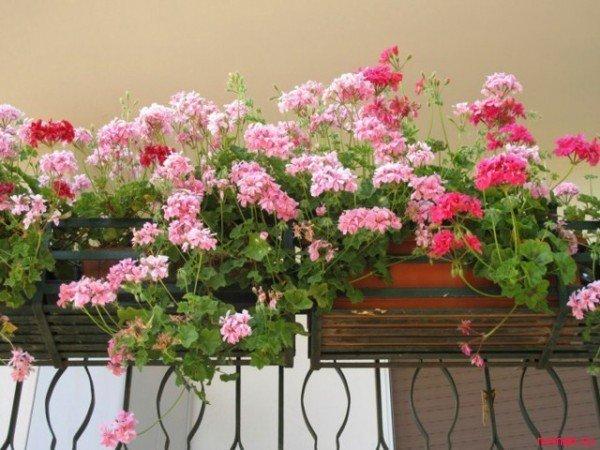 Это светолюбивое растение, но в летний период его лучше спря.