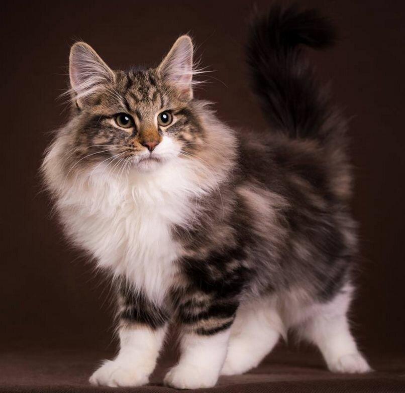 начните норвежская лесная порода кошек фото и описание продаже представлена