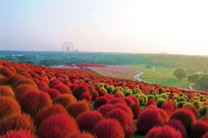 Картинки по запросу Национальный приморский парк Хитачи, Япония