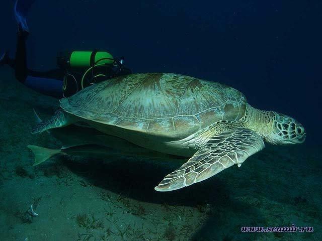 Черепаха и дайвер