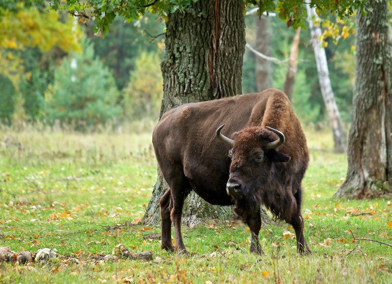 Фотограф: Uncle_Vova - Название фотографии: Беловежская пуща - Категория: Дикие животные - Фотоаппарат: Canon EOS 50D - Объектив: Canon EF-S 55-250mm F/4-5.6 IS