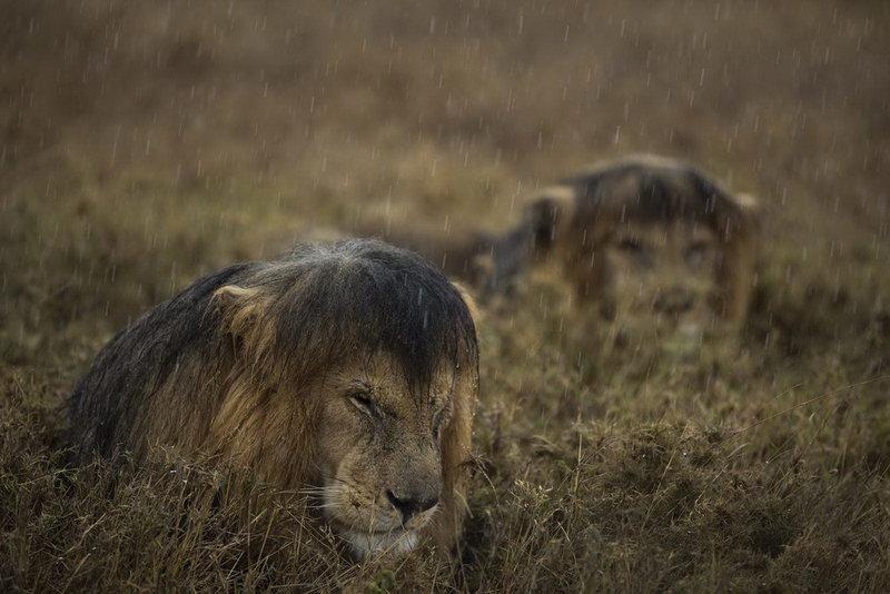 лев дождь приколы