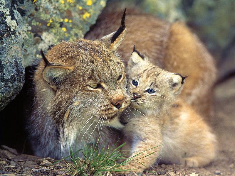 Рысь с детёнышем