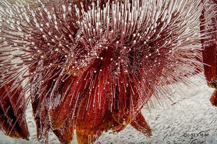 Цветы во льду от Mo Devlin