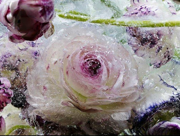 Замороженные цветы во льдах