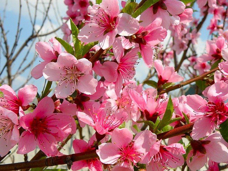 в картинках персик цветущий