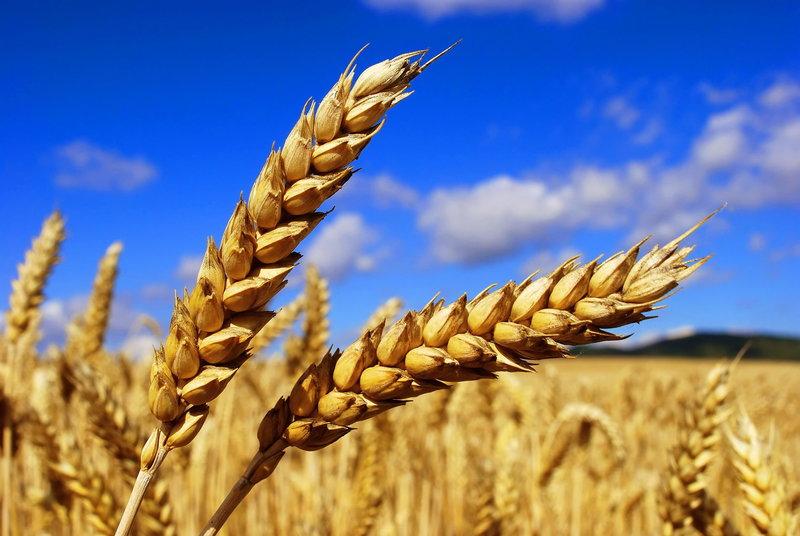 картинка колоска пшеницы для детей