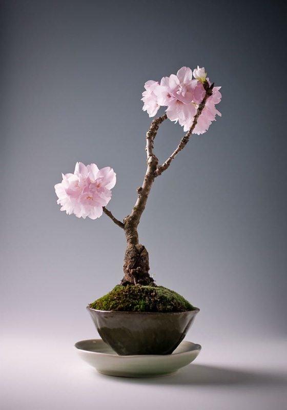 сакура цветы