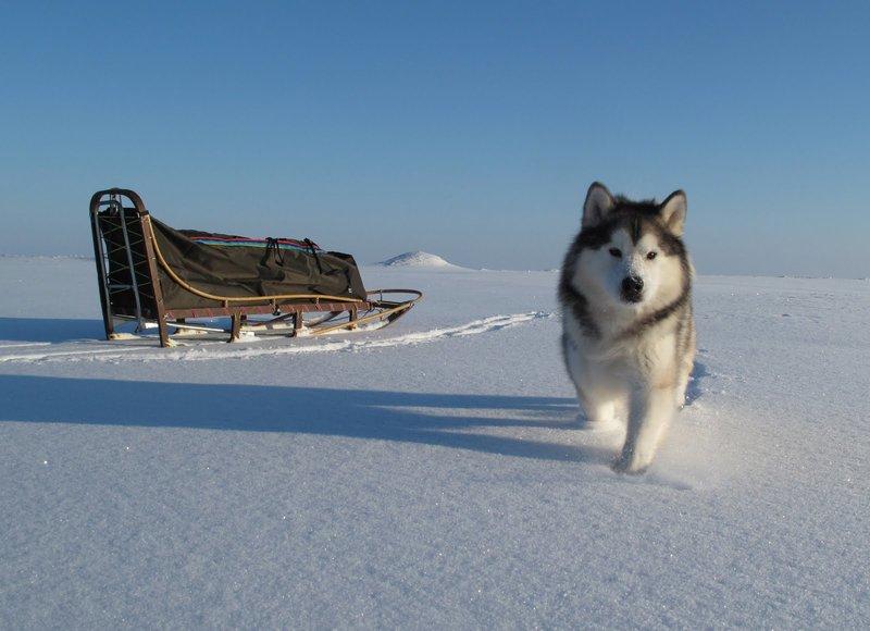 Аляскинский маламут (Alaskan Malamute) | Мир собак. Журнал о собаках. Доска объявлений. Породы. Дрессировка.