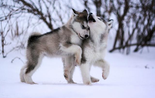 Аляскинский маламут | MyDog.su - сайт о собаках