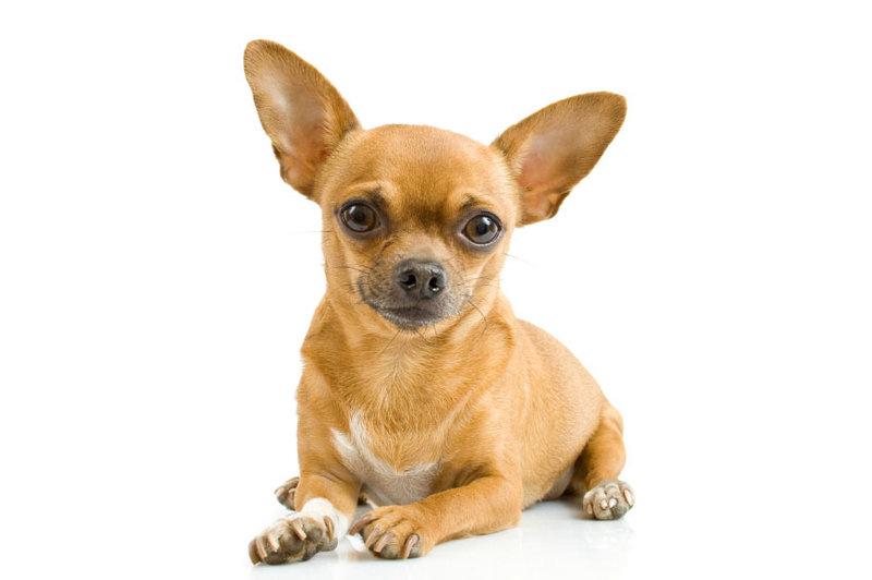 Чихуахуа: описание и характер. Фото. Видео. Цены на щенков