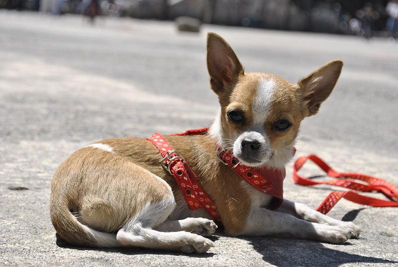 Чихуахуа - Порода собаки - Породи тварин