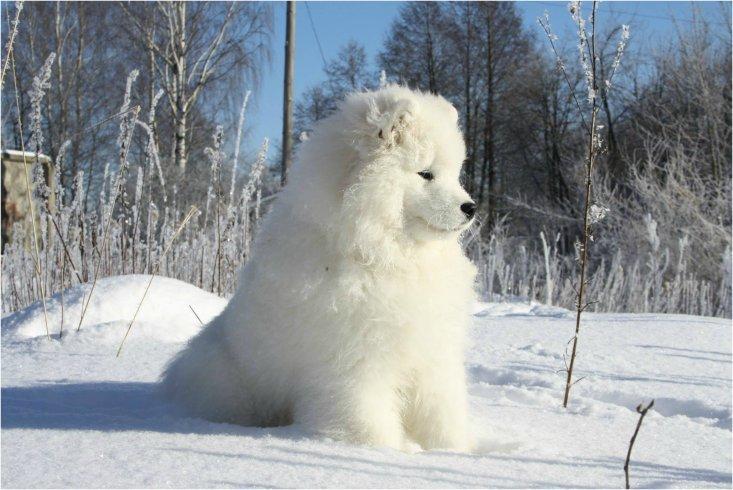 Фотогалерея - Smiling Snowball Pure Cloud