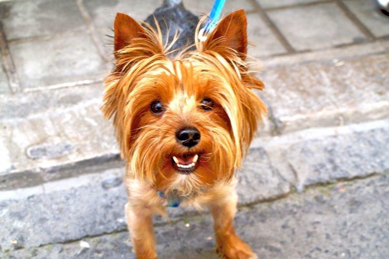 Йоркширский терьер - это шикарная собака с длинной шерстью