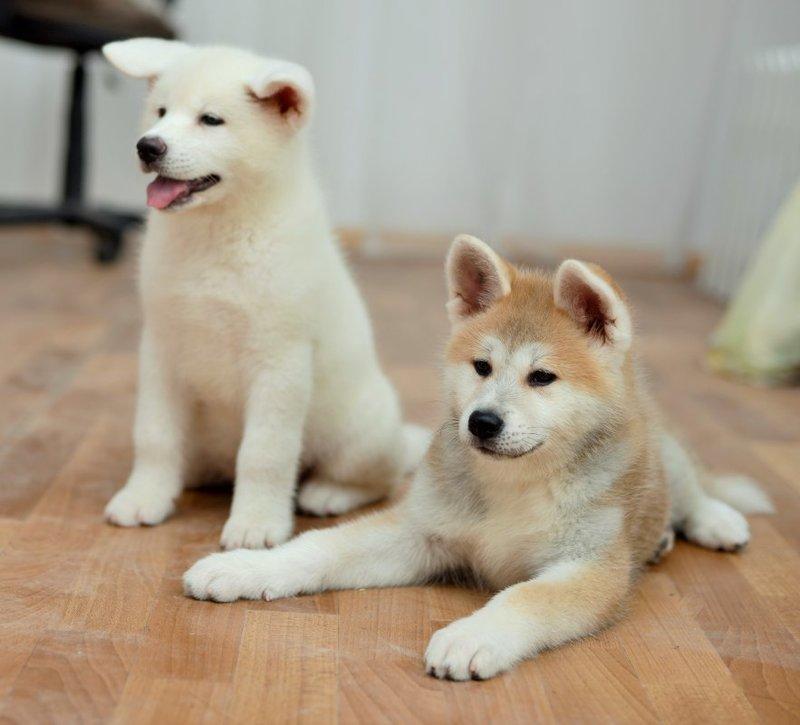 Купить щенков акита-ину цена 22000.00 UAH в Хмельницком, Украина