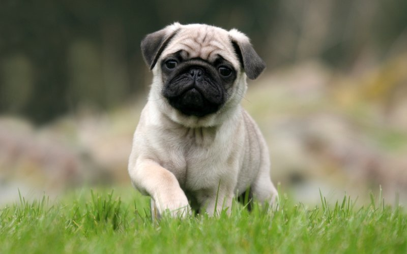 Мопс - Порода собаки - Породи тварин