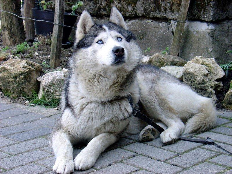 Описание породы маламут. Экстерьер и особенности характера этих собак.